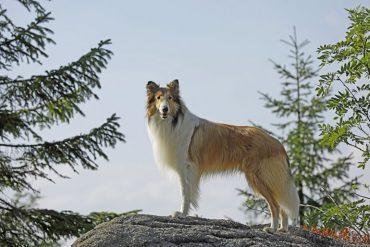 lassie-regresa-a-la-pantalla-grande1.jpg