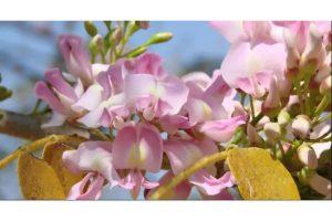 flor-de-cacahuananche-una-revelacion-cosmetica1.jpg